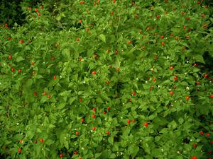 Capsicum annuum var. glabriusculum - Cluster of 18 intertwined plants