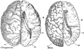 Chimpanzee and human brain scaled to the same size Thomas Henry Huxley.png