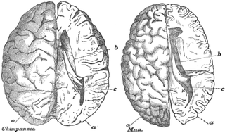 Human and chimp skulls and brains (not to scale), as illustrated in Gervais' Histoire naturelle des mammifères
