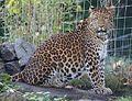 Chinesischer Leopard Panthera pardus japonensis Tierpark Hellabrunn-2.jpg