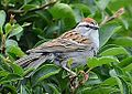 Chipping Sparrow (7276683260).jpg