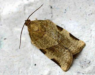<i>Choristoneura</i> Genus of moths in the family Tortricidae