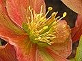 Christmas Rose (Hellebore) (16776565702).jpg