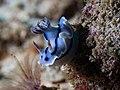 Chromodoris willani (32483040310).jpg