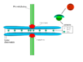Chromosome cohesion - en.png