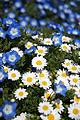 Chrysanthemum01s3872.jpg