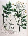 Chrysanthemum parthenium — Flora Batava — Volume v10.jpg