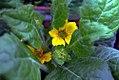Chrysogonum virginianum 0zz.jpg