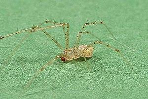 Theridiidae - Chrysso pulcherrima