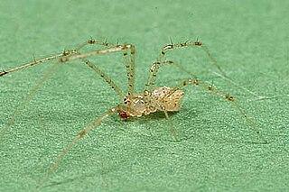 <i>Chrysso</i> Genus of spiders