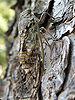 Cicada orni (Marseille).jpg