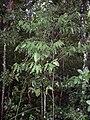 Cinnamomum oliveri - juvenile Foxground.JPG