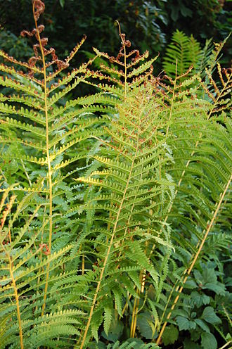 Osmundastrum - Sterile fronds in late summer