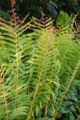 Cinnamon Fern Osmunda cinnamomea Plant 2000px.JPG