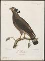 Circaëtus bacha - 1796-1808 - Print - Iconographia Zoologica - Special Collections University of Amsterdam - UBA01 IZ18100265.tif
