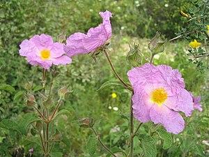 Cistaceae - Cistus incanus
