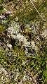 Cladonia portentosa 74460406.jpg