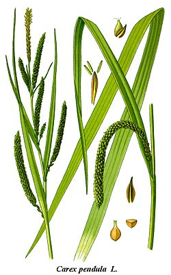 Cleaned-Illustration Carex pendula.jpg