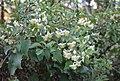 Clematis brachiata (Ranunculaceae) (6786055630).jpg