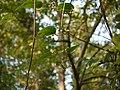Clematis hedysarifolia (5154632333).jpg