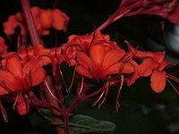 Clerodendron speciosissimum1