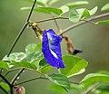 Clitoria ternatea (Mussel-shell climber) I IMG 9809.jpg