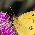 Clouded Yellow Butterfly 2 (6190501459).jpg