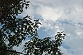 Clouds Sky & leaves (4669978577).jpg