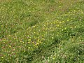 Clover and hawkbits - geograph.org.uk - 512731.jpg