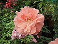 Cluster flowered rose from Lalbagh flower show Aug 2013 8489.JPG