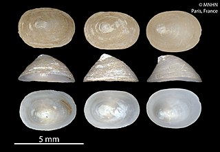 Cocculinoidea Superfamily of gastropods