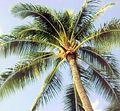 Coconut tree (2094056434).jpg