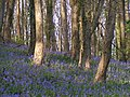 Coed Cefn woods above Crickhowell - geograph.org.uk - 818699.jpg