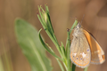 Coenonympha glycerion.png