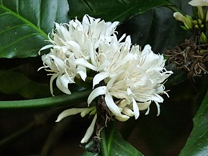 Coffea canephora - Flowers