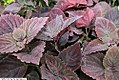 Coleus Giant Exhibition Palisandra Black 2zz.jpg