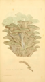 Coloured Figures of English Fungi or Mushrooms - t. 87.png