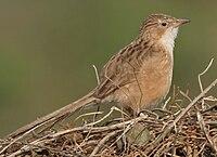 Common Babbler (Turdoides caudatus) in Hodal, Haryana W2 IMG 6245
