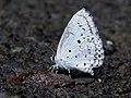 Common Hedge Blue Acytolepis puspa by Dr. Raju Kasambe DSCN1629 (2).jpg