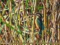 Common Kingfisher (Alcedo atthis) (33170878715).jpg