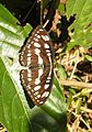 Common Sergeant Athyma perius by Dr. Raju Kasambe DSCN0679 (3).JPG