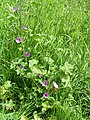 Common mallow 600.jpg