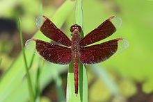 Common parasol (Neurothemis fluctuans) male S.jpg