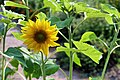 Common sunflower (35054157046).jpg
