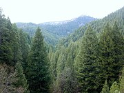 A dense growth of softwoods (a conifer forest) in the Sierra Nevada Range of Northern California