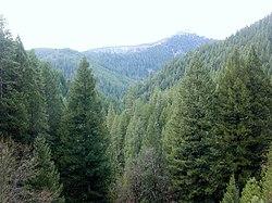 Conifer forest.jpg