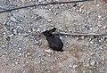 Conill negre a Soneja, l'Alt Palància.jpg