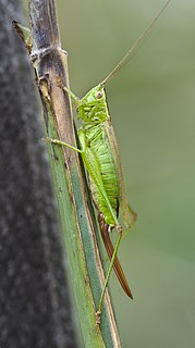 <i>Conocephalus fuscus</i> species of insect