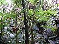 Conservatoire du bégonia 2015. Begonia luxurians 01.JPG