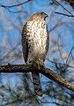 Cooper's hawk in Prospect Park (22489).jpg
